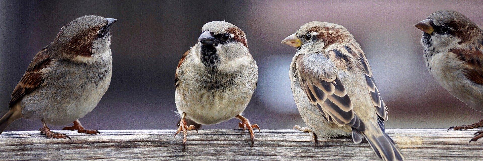 image sparrows2759978_1920.jpg (0.3MB)