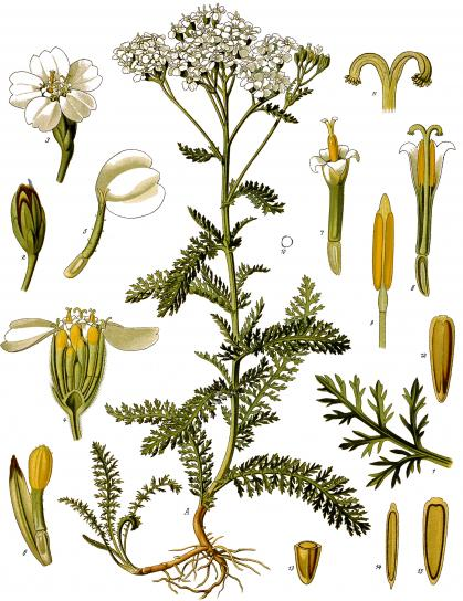 image Achillea_millefolium__Khlers_MedizinalPflanzen149.jpg (2.0MB)