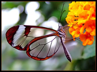 lewikiderobert13_papillon-transparent-3.jpg