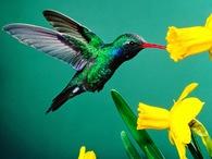 reseaudescolibrisducompiegnois_colibri-verde.jpg