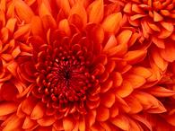 wikiflorelle_chrysanthemum.jpg
